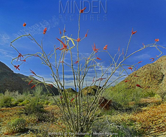Ocotillo (Fouquieria splendens) flowering, Joshua Tree National Park, California  -  Tim Fitzharris
