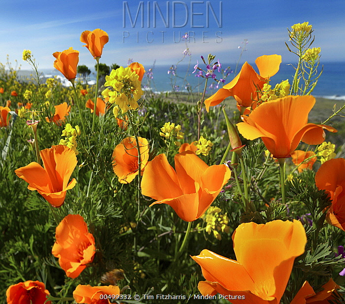 California Poppy (Eschscholzia californica) flowers, Big Sur, California  -  Tim Fitzharris