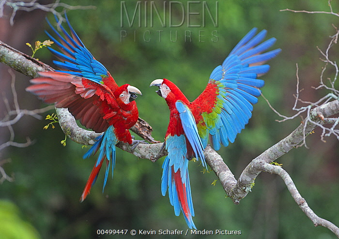 Red and Green Macaw (Ara chloroptera) pair fighting, Buraco das Araras, Mato Grosso do Sul, Pantanal, Brazil  -  Kevin Schafer
