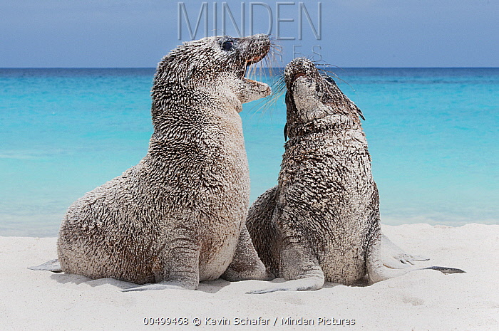 Galapagos Sea Lion (Zalophus wollebaeki) pups playing, Espanola Island, Galapagos Islands, Ecuador  -  Kevin Schafer