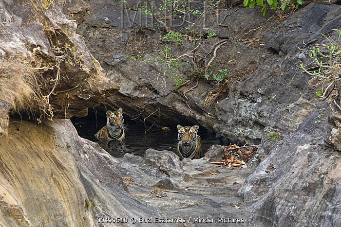 Bengal Tiger (Panthera tigris tigris) eighteen month old cubs in waterhole, Bandhavgarh National Park, India  -  Suzi Eszterhas