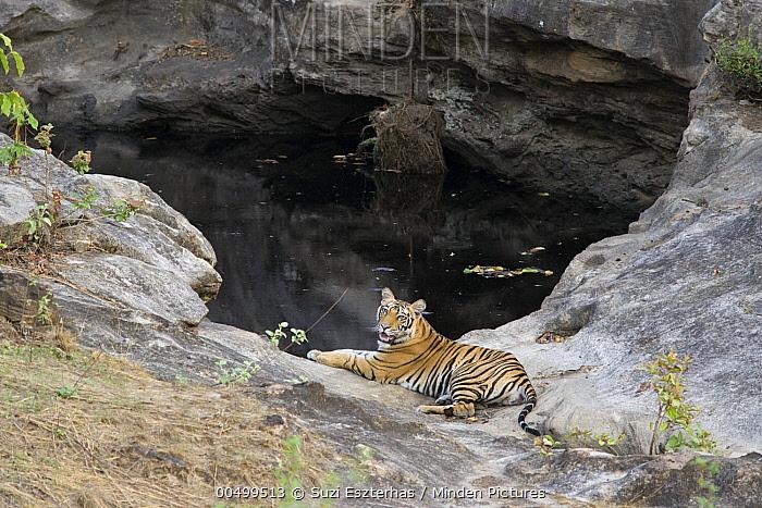 Bengal Tiger (Panthera tigris tigris) eighteen month old cub at waterhole, Bandhavgarh National Park, India  -  Suzi Eszterhas