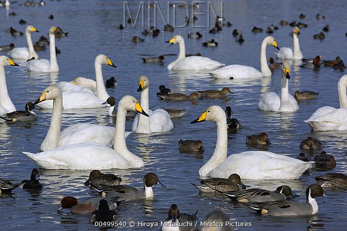 Whooper Swan (Cygnus cygnus) and Northern Pintail (Anas acuta) flock, Lake Hyo, Japan  -  Hiroya Minakuchi
