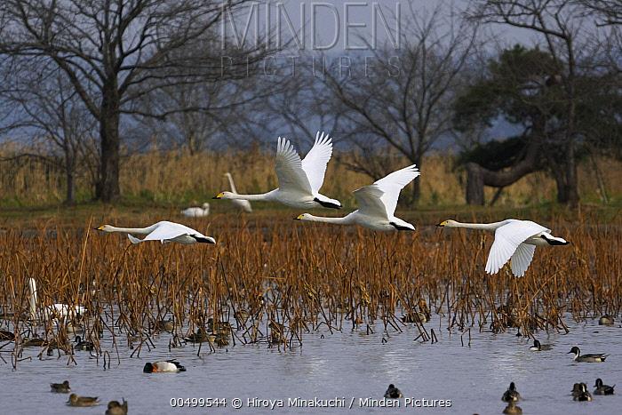 Whooper Swan (Cygnus cygnus) group flying over Northern Pintail (Anas acuta) flock, Lake Hyo, Japan  -  Hiroya Minakuchi