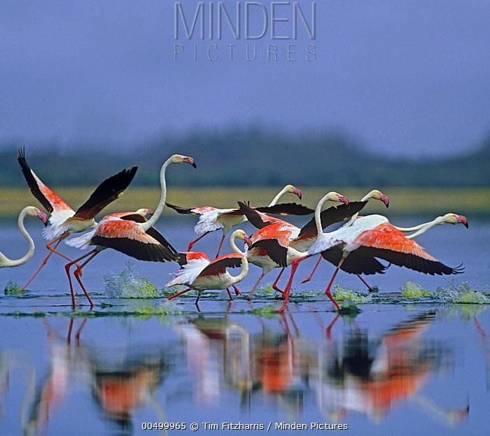 Greater Flamingo (Phoenicopterus ruber) flock taking flight, Lake Bogoria, Kenya  -  Tim Fitzharris
