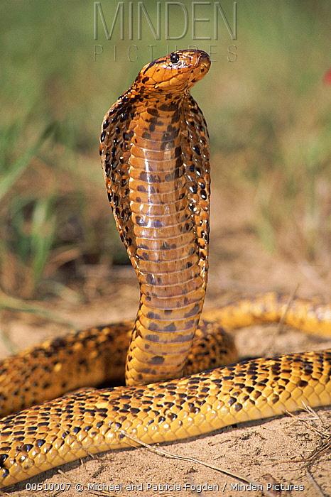 Cape Cobra (Naja nivea) speckled morph, in defensive display, showcasing hood threat, Africa  -  Michael & Patricia Fogden