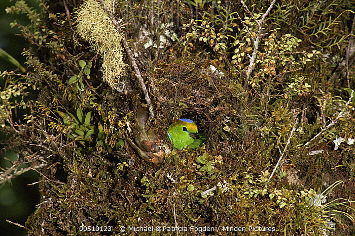 Golden-browed Chlorophonia (Chlorophonia callophrys) male building nest on epiphyte-covered tree trunk, cloud forest ecosystem, Costa Rica  -  Michael & Patricia Fogden