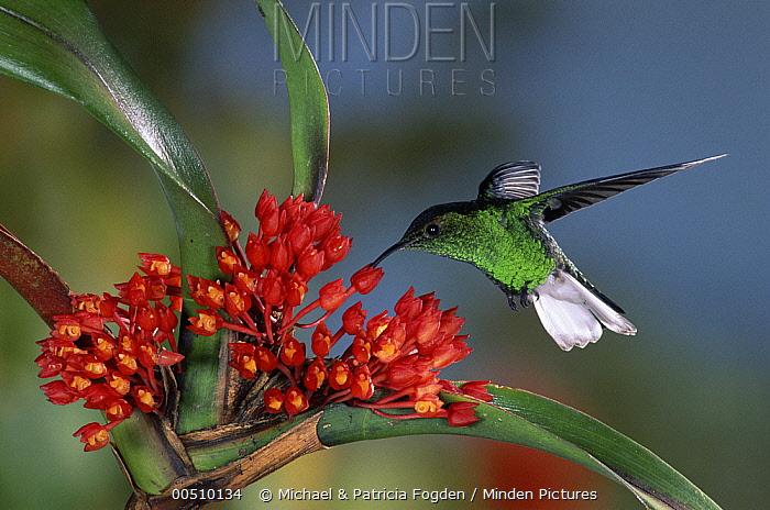 Coppery-headed Emerald (Elvira cupreiceps) hummingbird male feeding on and pollinating Shiney Maxillaria (Maxillaria fulgens) in cloud forest, Costa Rica  -  Michael & Patricia Fogden