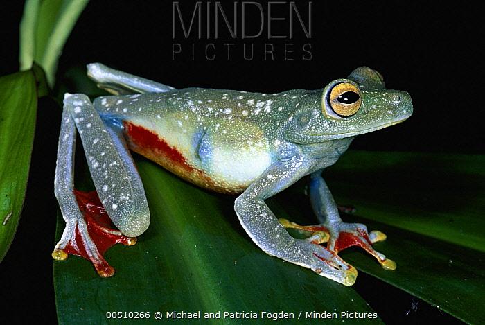 Canal Zone Treefrog (Hypsiboas rufitelus) in rainforest, La Selva Biological Research Station, Costa Rica  -  Michael & Patricia Fogden