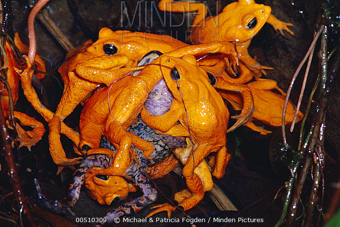 minden pictures stock photos golden toad bufo periglenes males