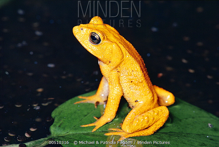 Golden Toad (Bufo periglenes) male, breeding aggregation, extinct, Monteverde Cloud Forest Reserve, Costa Rica  -  Michael & Patricia Fogden