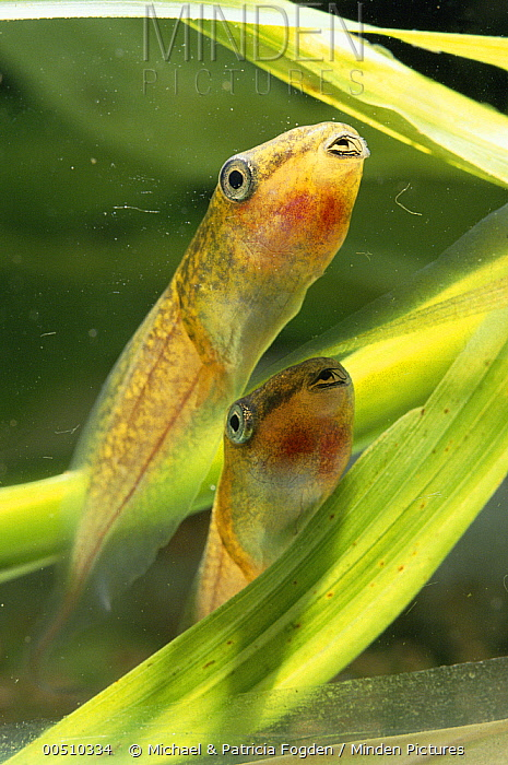 Red-eyed Tree Frog (Agalychnis callidryas) tadpoles in rain water pond, Costa Rica  -  Michael & Patricia Fogden