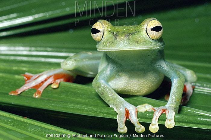 Canal Zone Treefrog (Hypsiboas rufitelus) rainforest, Costa Rica  -  Michael & Patricia Fogden