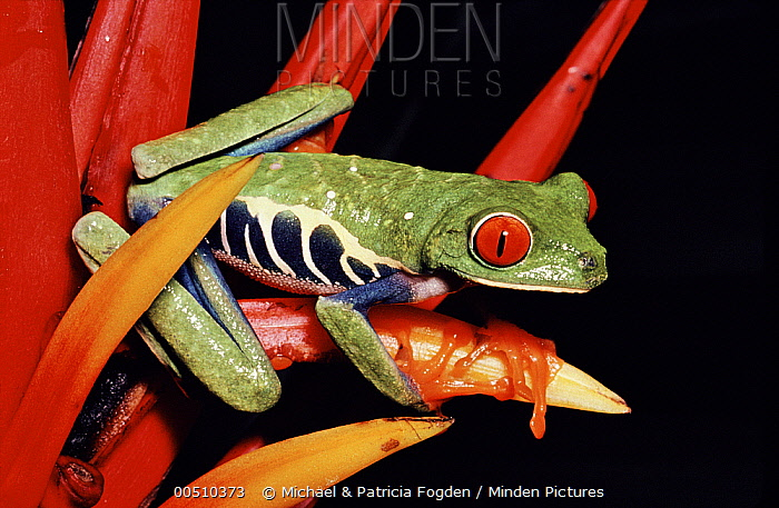 Red-eyed Tree Frog (Agalychnis callidryas) on (Heliconia mathiasii) rainforest, Costa Rica  -  Michael & Patricia Fogden