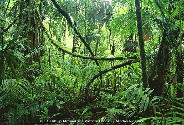 Lianas in interior of lowland rainforest, La Selva Biological Research Station, Costa Rica  -  Michael & Patricia Fogden
