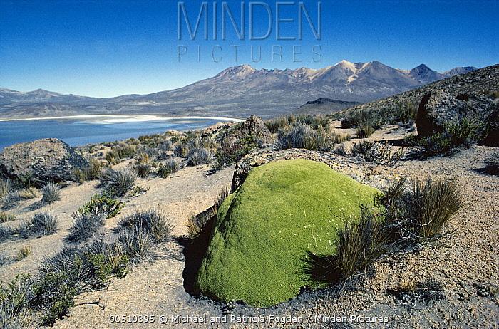 Cushion Plant, high Andes Mountains, Peru  -  Michael & Patricia Fogden