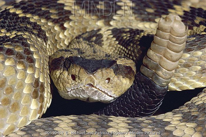 Black-tailed Rattlesnake (Crotalus molossus) portrait, Chiricahua Mountains, Arizona  -  Michael & Patricia Fogden