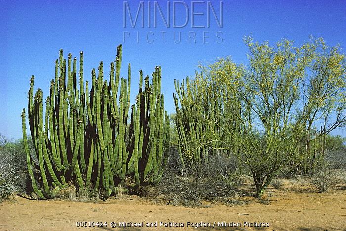 Organ Pipe Cactus (Stenocereus thurberi) and flowering Paloverde in spring, Hermosillo, Sonoran Desert, Mexico  -  Michael & Patricia Fogden