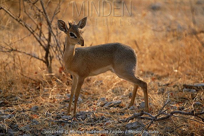 Kirk's Dik-dik (Madoqua kirkii), Etosha National Park, Namibia  -  Michael & Patricia Fogden