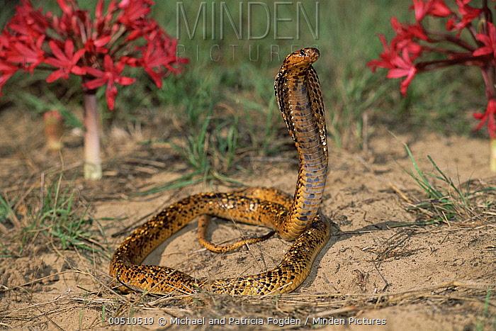 Cape Cobra (Naja nivea) speckled morph in defensive display with hood spread  -  Michael & Patricia Fogden