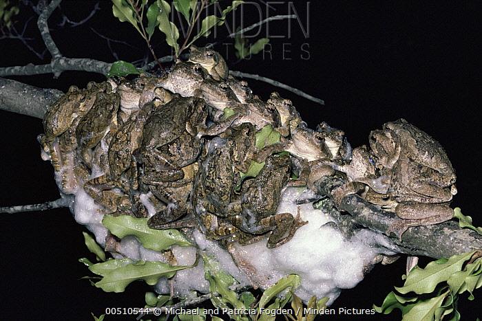 Grey Tree Frog (Chiromantis xerampelina) group co-operative foam nesting, seasonal ponds, savannah, South Africa  -  Michael & Patricia Fogden