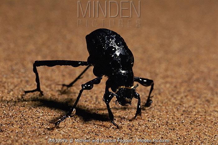 Darkling Beetle (Onymacris unguicularis) drinking, Namib Desert, Namibia  -  Michael & Patricia Fogden
