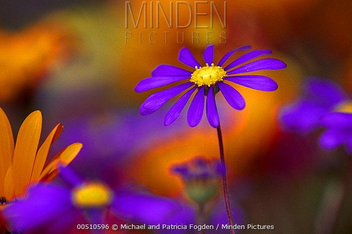 Kingfisher Daisy (Felicia bergeriana) spring flowers, Skilpad Flower Reserve, Namaqualand Kamieskroon, Africa  -  Michael & Patricia Fogden