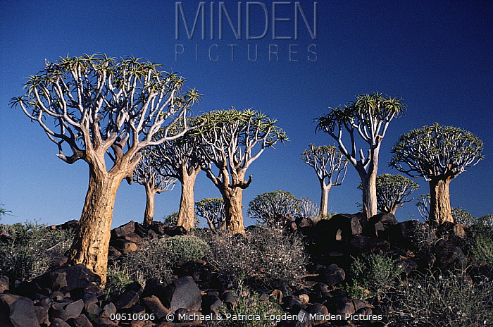 Quiver Tree (Aloe dichotoma), Keetmanshoop, Namibia  -  Michael & Patricia Fogden