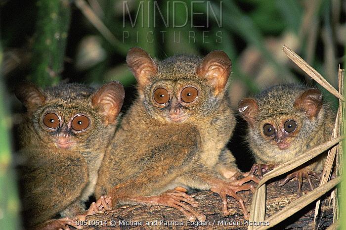 Spectral Tarsier (Tarsius tarsier) in the rainforest, Tangkoko-Dua Saudara Nature Reserve, Sulawesi, Indonesia  -  Michael & Patricia Fogden