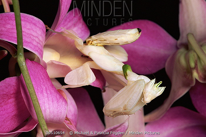 Orchid Mantis (Hymenopus coronatus) and orchid flower, Malaysia  -  Michael & Patricia Fogden