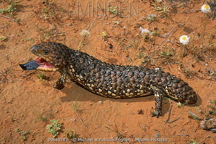 Shingleback Lizard (Tiliqua rugosa) defensive display, Australia  -  Michael & Patricia Fogden