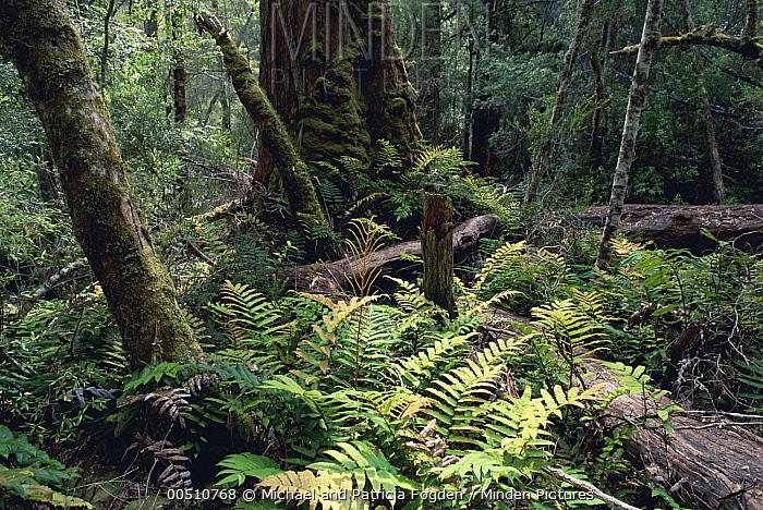 Hardwater Fern (Blechnum wattsii) in temperate rainforest, Mount Field National Park, Tasmania, Australia  -  Michael & Patricia Fogden