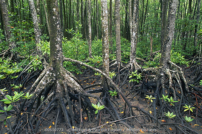 Mangrove (Avicennia sp) forest, Noah Creek, Daintree National Park, Queensland, Australia  -  Michael & Patricia Fogden