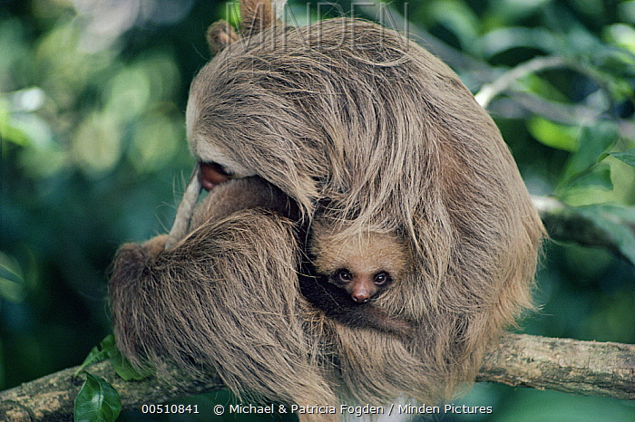 Hoffmann's Two-toed Sloth (Choloepus hoffmanni) mother and baby in cloud forest ecosystem, Costa Rica  -  Michael & Patricia Fogden