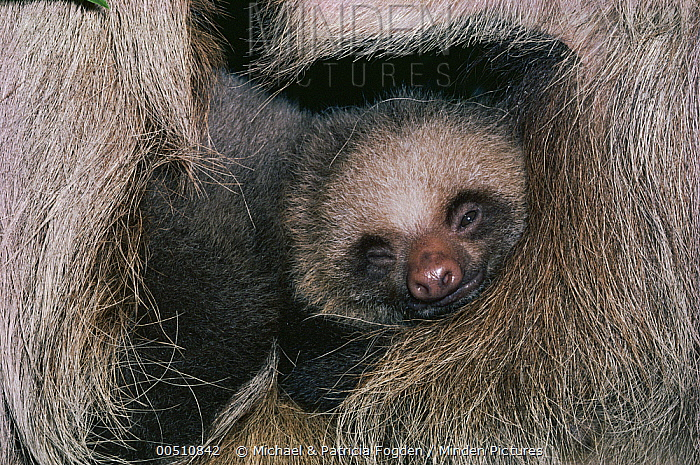 Hoffmann's Two-toed Sloth (Choloepus hoffmanni) sleeping baby, cloud forest ecosystem, Costa Rica  -  Michael & Patricia Fogden