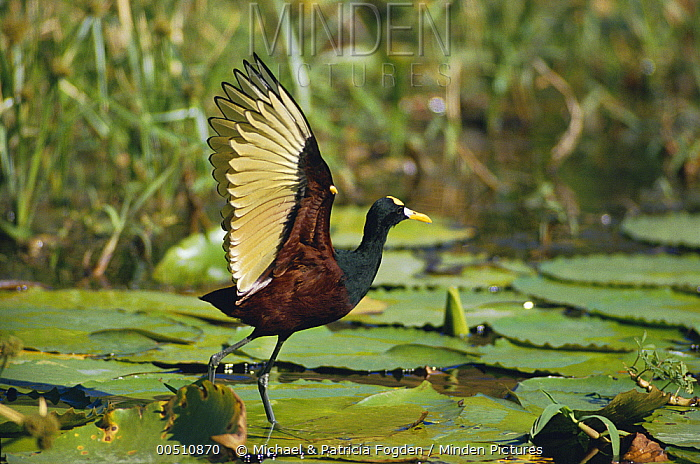 Northern Jacana (Jacana spinosa) note spur on wing, Costa Rica  -  Michael & Patricia Fogden
