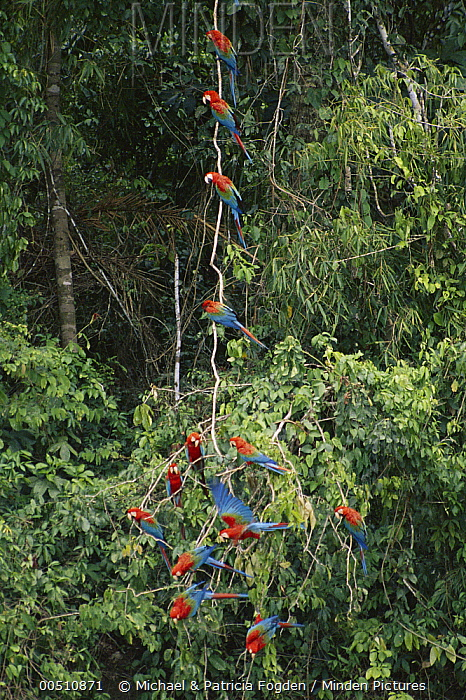 Red and Green Macaw (Ara chloroptera) on forest liana rainforest, Manu National Park, Peru  -  Michael & Patricia Fogden