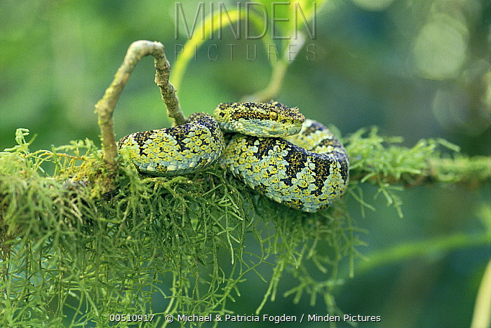Blotched Palm-pit Viper (Bothriechis supraciliaris) camouflaged on mossy branch in rainforest, Costa Rica  -  Michael & Patricia Fogden