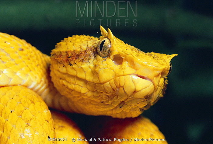 Eyelash Viper (Bothriechis schlegelii) showing loreal pits for detecting heat, rainforest, Costa Rica  -  Michael & Patricia Fogden