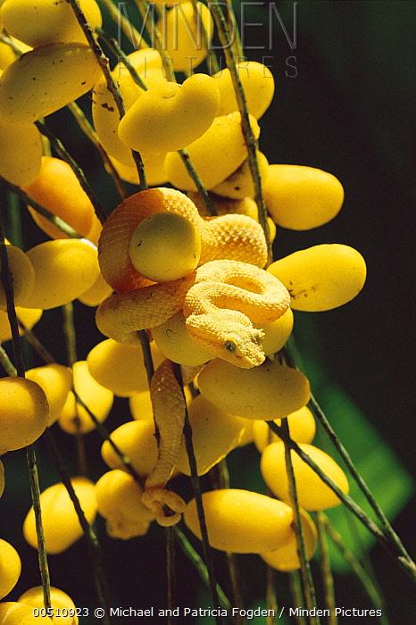 Eyelash Viper (Bothriechis schlegelii) gold morph camouflaged among palm fruits, rainforest, Costa Rica  -  Michael & Patricia Fogden
