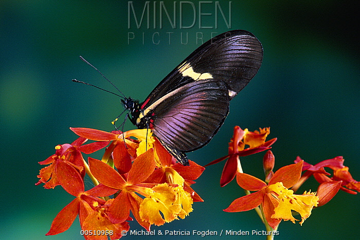 Passionvine Butterfly (Heliconius clysonimus) attempting to feed at Crucifix Orchid (Epidendrum radicans) the original mimics Lantana sp and Asclepias curassavica but provides no nectar  -  Michael & Patricia Fogden