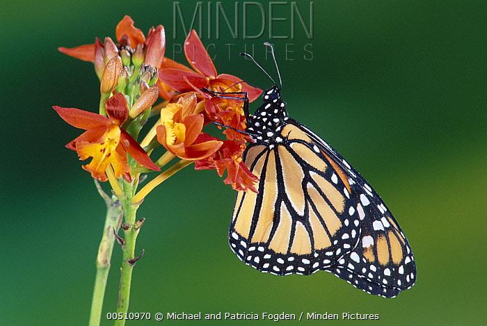 Monarch (Danaus plexippus) butterfly, feeding on Scarlet Milkweed (Asclepias curassavica) in the cloud forest, Costa Rica  -  Michael & Patricia Fogden