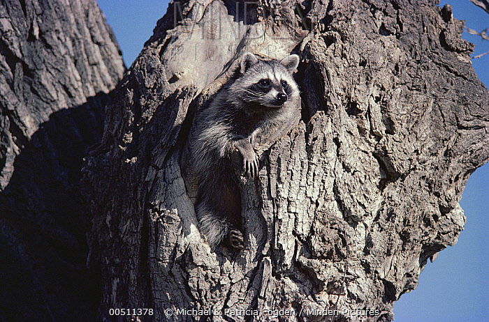 Raccoon (Procyon lotor) in cottonwood tree, Chihuahuan Desert, Mexico  -  Michael & Patricia Fogden