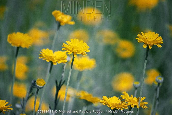 Desert Marigold (Baileya multiradiata) flowers, Chihuahuan Desert, North America  -  Michael & Patricia Fogden