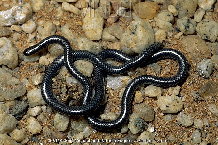 Peter's Thread Snake (Leptotyphlops scutifrons) on savannah, southern Africa  -  Michael & Patricia Fogden