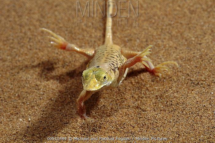 Namib Sanddiver (Aporosaura anchietae) lifting feet to stay cool on hot sand dune, Namib Desert, Namibia  -  Michael & Patricia Fogden