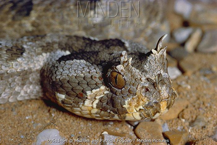 Many-horned Adder (Bitis cornuta) portrait of venomous snake, native to Africa  -  Michael & Patricia Fogden