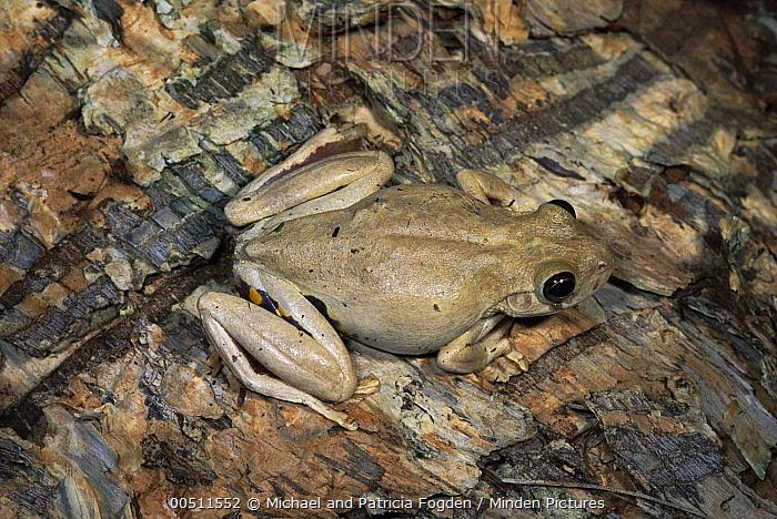 Roth's Tree Frog (Litoria rothii) on Paperbark Tree (Melaleuca quinquenervia), Kakadu National Park, Northern Territory, Australia  -  Michael & Patricia Fogden