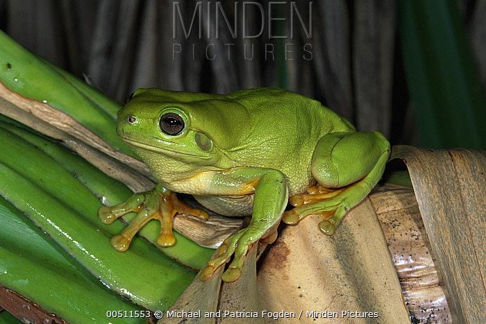 White's Tree Frog (Litoria caerulea), Kimberley, Western Australia  -  Michael & Patricia Fogden