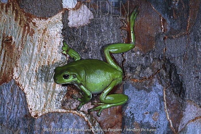 White's Tree Frog (Litoria caerulea) on Eucalyptus tree, Australia  -  Michael & Patricia Fogden